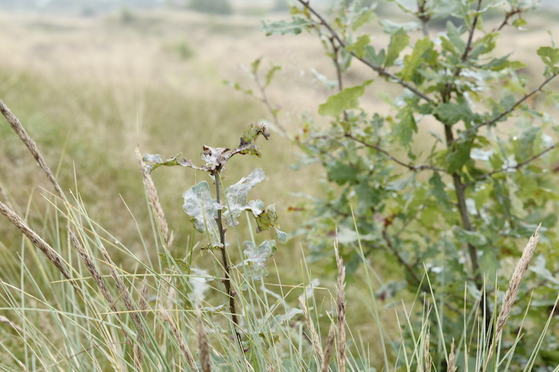 Süderlügumer Binnendünen, Leica SL 75mm
